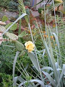 Elymus (Leymus) condensatus 'Lottie's Choice' giant wild rye