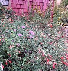 Epilobium canum 'Garrison Canyon' California fuchsia