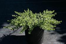 Baccharis magellanica  Christmas bush