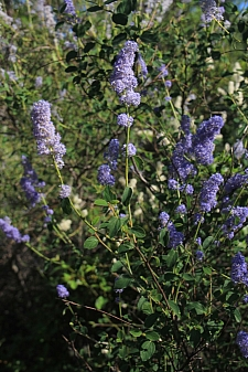 Ceanothus integerrimus  deer brush