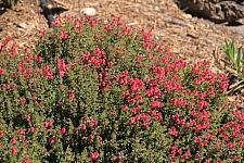 Scutellaria suffrutescens  pink Texas skullcap
