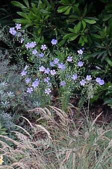 Linum lewisii  Western blue flax