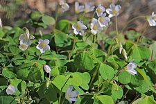 Oxalis oregana 'Smith River White' white redwood sorrel