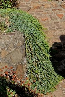Juniperus communis 'Point Saint George' dwarf juniper
