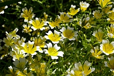 Limnanthes douglasii   meadowfoam