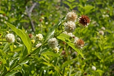 Cephalanthus  occidentalis  button willow