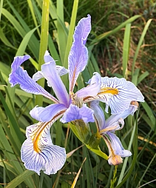 Iris longipetala  iris