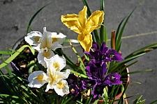Iris Pacific Coast hybrid  Pacific Coast hybrid iris