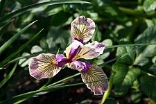 Iris Pacific Coast hybrid 'Sebastopol' Pacific Coast hybrid iris