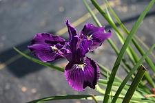Iris Pacific Coast hybrid 'Violeta' Pacific Coast hybrid iris