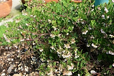 Arctostaphylos densiflora 'James West' Vine Hill manzanita