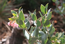 Arctostaphylos  'Lester Rowntree' manzanita