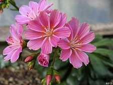 Lewisia cotyledon  cliff maids