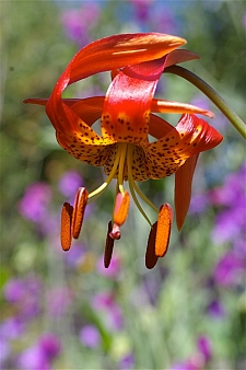 Lilium pardalinum ssp. pitkinense  Pitkin lily