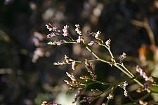Limonium  californicum  sea lavender