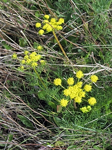 Lomatium utriculatum  common lomatium