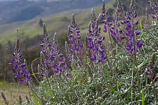 Lupinus albifrons var. albifrons  silver bush lupine