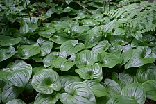 Maianthemum dilatatum  false lily of the valley