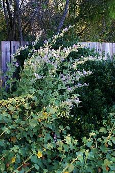 Malacothamnus  'Casitas' chapparal bush mallow