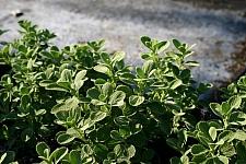 Marrubium bourgaei 'All Hallow's Green' false dittany