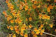 Mimulus  'Peach Hybrid' monkeyflower