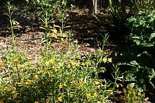 Mimulus aurantiacus 'Ted's Yellow' sticky monkeyflower
