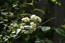 Neviusia cliftonii  Shasta snow-wreath