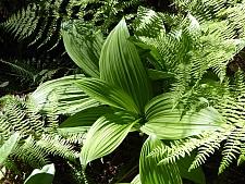 Veratrum fimbriatum  fringed cornlily