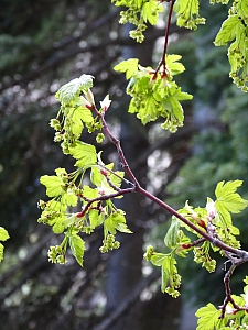 Acer glabrum  Sierra maple