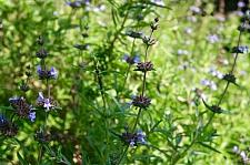 Salvia brandegeei 'Pacific Blue' Brandegee sage