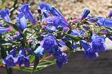 Penstemon heterophyllus 'Blue Springs' foothill penstemon