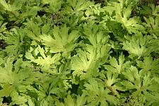 Petasites palmatus 'Golden Palms' golden western coltsfoot