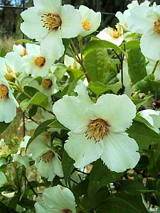 Philadelphus  'Belle Etoile' mock orange