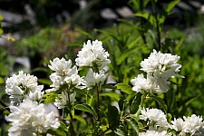 Philadelphus lewisii 'Goose Creek' western mock orange