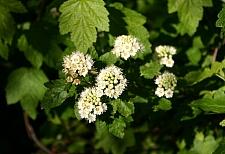 Physocarpus capitatus  western ninebark