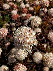 Physocarpus opulifolius 'Coppertina' bronze ninebark
