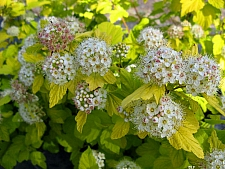 Physocarpus opulifolius 'Nugget' golden ninebark