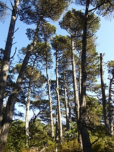 Pinus muricata  Bishop pine
