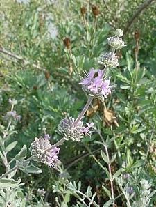 Salvia leucophylla 'Point Sal' purple sage