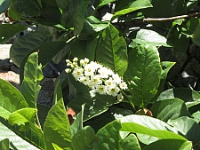 Prunus virginiana v. demissa  chokecherry