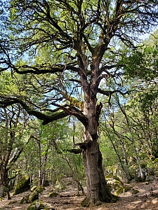 Quercus chrysolepis  canyon live oak