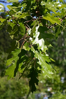 Quercus kelloggii  California black oak