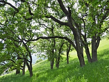 Quercus lobata  valley oak