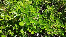 Quercus pacifica  island scrub oak