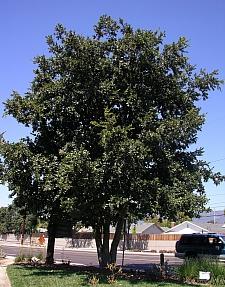 Quercus tomentella  island oak