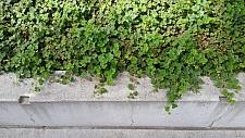 Rubus calycinoides 'Emerald Carpet' creeping raspberry