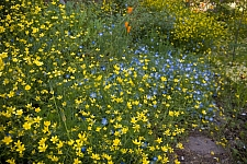 Ranunculus occidentalis  western buttercup