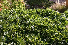 Rhamnus (Frangula) californica 'Ed Holm' dwarf California coffeeberry