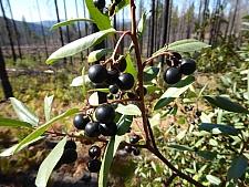 Rhamnus (Frangula) californica  California coffeeberry
