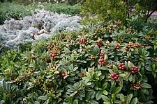 Rhamnus (Frangula) californica 'Seaview' dwarf California coffeeberry